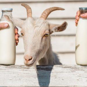 شیر بز؛ مغذی و زود جذب